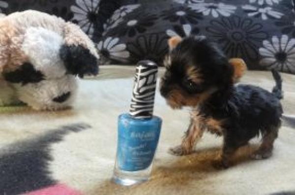 Fotos del perro más pequeño del mundo