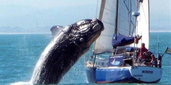 Una ballena cayó sobre un velero y dejó heridos