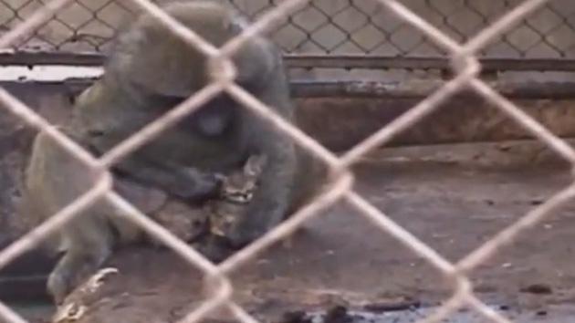 Video: Mono adopta gatito