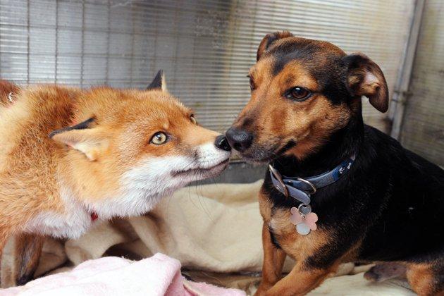 Video: El zorro que se cree perro